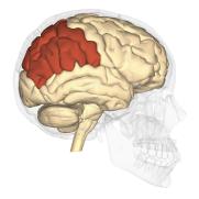 Parietal_lobe_-_lateral_view